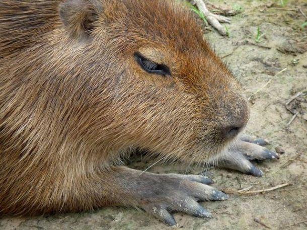 chigüire ou capybara