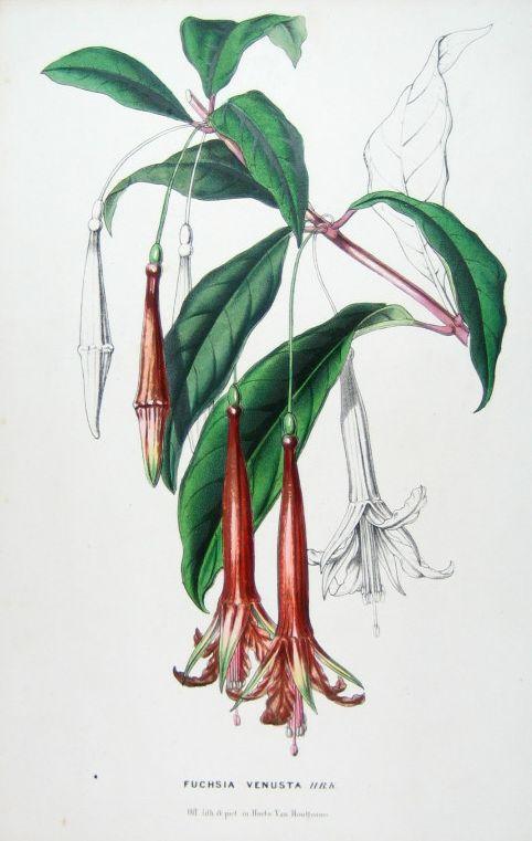 Fuchsia venusta, plante décrite par Bonpland