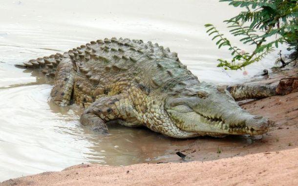Crocodile de l'Orénoque (Crocodylus intermedius)