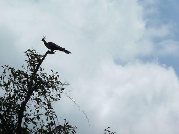 oiseaux llanos hoatzin