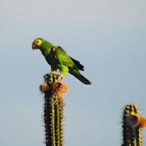 À Margarita, perroquets en danger!