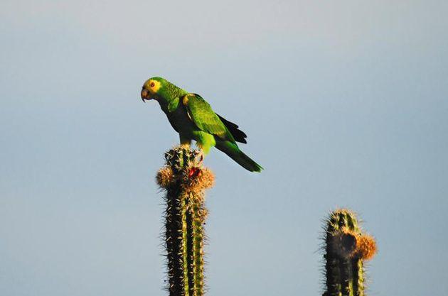Amazona barbadensis