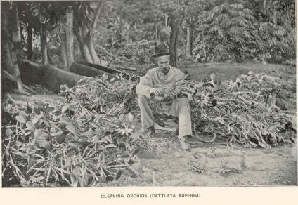 Eugène André nettoie des orchidées