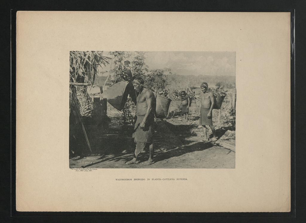 Waiomgomo transportant des plantes - Cattleya superba